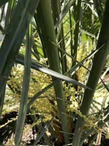 Palmen werden bestäubt